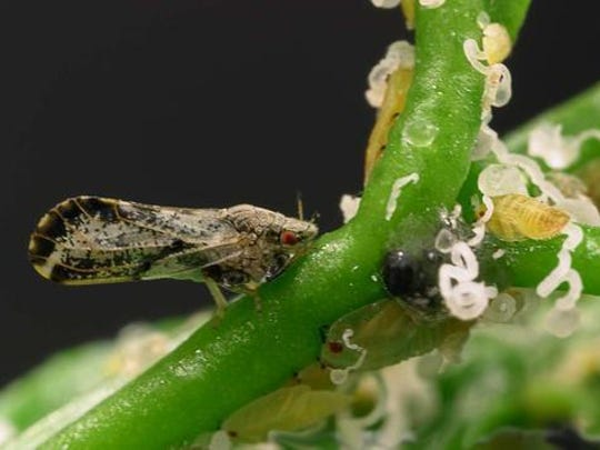 The psyllid carries the disease Huanglongbing (HLB) from one tree to another as it feeds on the leaves of the citrus tree.