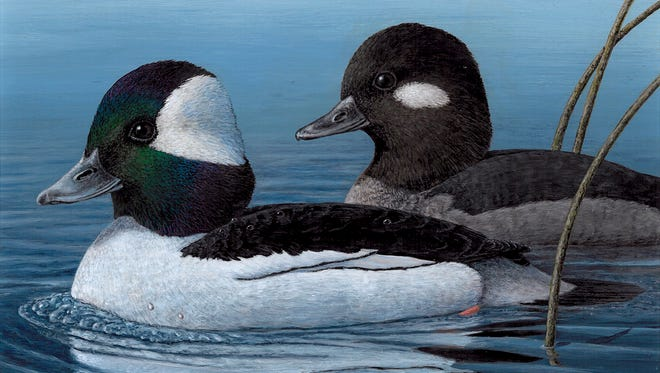 Minnesot wildlife artist Mark A. Thone created this artwork, which will be used for Nevada's Duck Stamp.