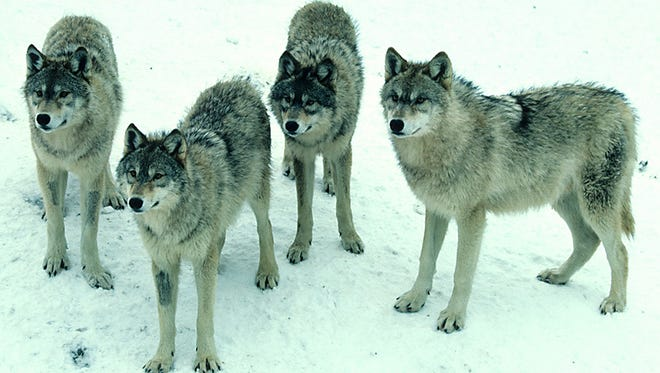 Wisconsin's minimum wolf population was recently estimated at nearly 900.