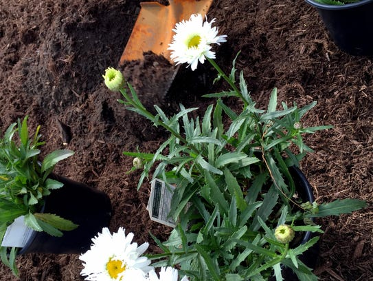 Shasta daisies get planted in the West Bloomfield High