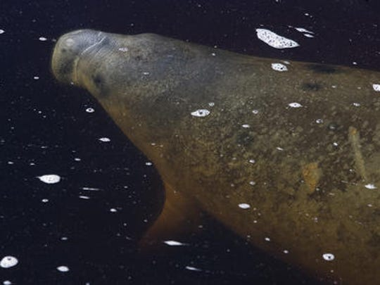 Boaters are encouraged to be aware of manatees being active during November.