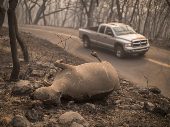The body of a cow that died in the Atlas Fire is seen