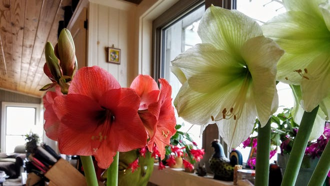 While Christmas amaryllis is traditionally red, there are many specialty colors.