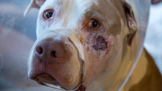 Ciroc whimpers with tape round his mouth after a bullet broke his jaw, Sunday, July 9, 2017. Minneapolis police are investigating after video shows an officer shooting two dogs in the backyard of a home where he was checking on a burglary alarm.