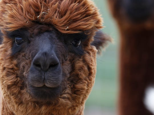 One of the female alpacas on Robasia Alpaca Farm on Tuesday, April 26. Owners Rob and Joanna Stephens started the farm in 2005.
