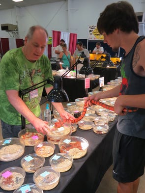 George Fleming of Fleming Reptiles lets Eric Muller examine a Honduran Milk Snake for sale in his collection of reptiles Saturday at the Repticon Pensacola event being held over the weekend at the Pensacola Interstate Fairgrounds.