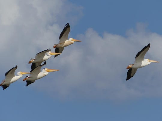 White pelicans soar over Manitowoc.