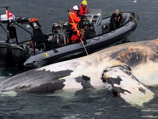 In this recent photo, researchers examine a dead North Atlantic right whale along the Gulf of St. Lawrence in Canada.
