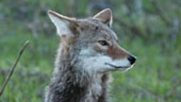 The Ohio coyote is native to Southwest Ohio and is