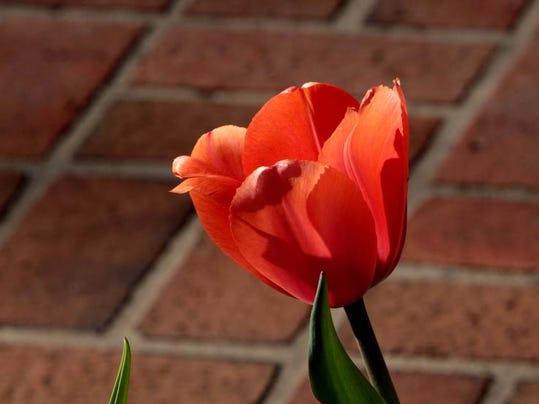 Tulips02.jpg