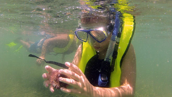 Aiden Perez, 10, of Port Charlotte, inspects a sea urchin during his snorkeling trip Wednesday afternoon in Gasparilla Sound. The DEP is holding free snorkeling-based ecology tours that are open to the public, in June and July.