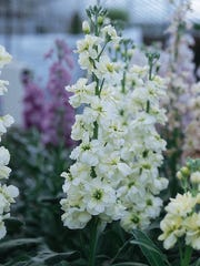 'Miracle White' stock provides a fragrant presence in a pot mixed with other spring annuals.