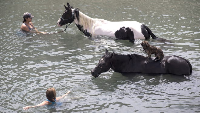 It was too hot on July 22 for Ruthie Bogle of Phoenix (foreground) and Sara Luois of Peoria to ride their horses. So they took them swimming in Lake Pleasant instead. That's Bogle's dog Baxter hitching a ride.