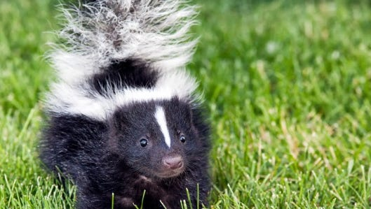 A rabid skunk was found in a Cherry Hill backyard.