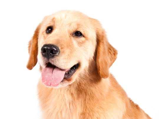 Aww, such a sweet face. Golden Retrievers are popular