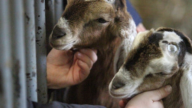 Young Nubian goats snuggle up to the hands of kids from Howell's Southwest Elementary School during a recent visit to the Kensingtton Metropark Farm Center.