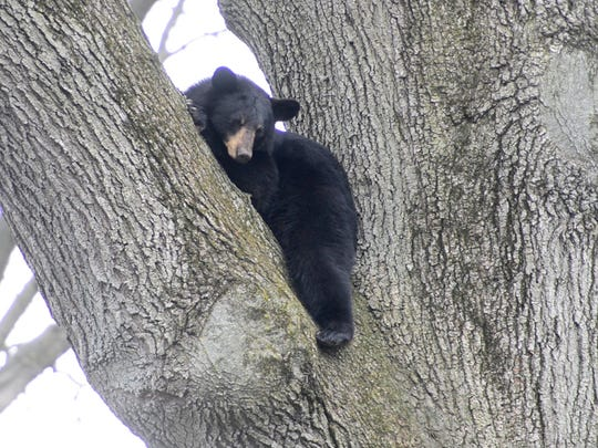 A black bear sits in a tree in the backyard of a home on Benton Road in Paramus on Monday April 30, 2018.