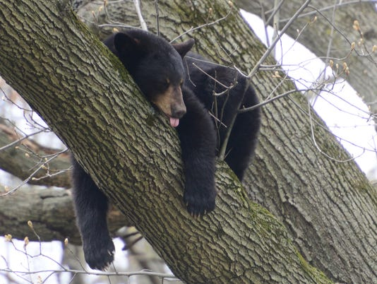 Bear in Paramus