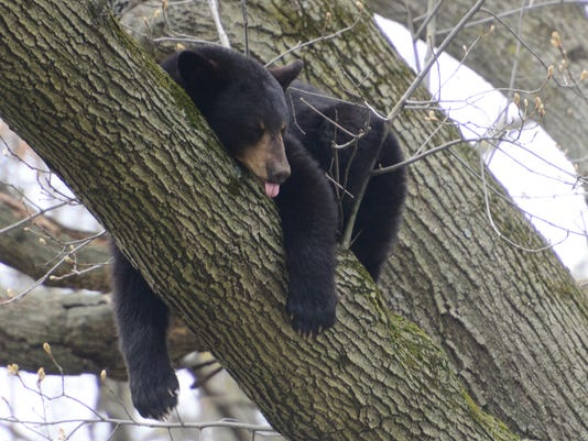 Bear in Paramus