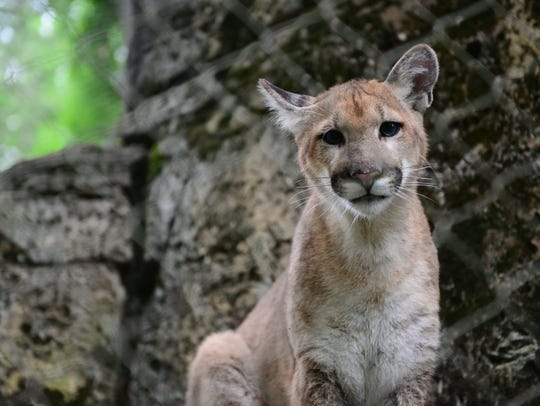 Bergen County Zoo acquired two orphaned mountain lions