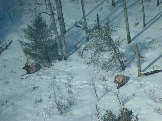 In the last century, Michigan's elk herd has grown from seven animals to about 1,000 and is considered an incredible successful conservation story. Most elk live just four hours north of Detroit in the Pigeon River Country State Forest near Gaylord.