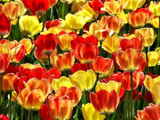 holland tulip festival 9.jpg