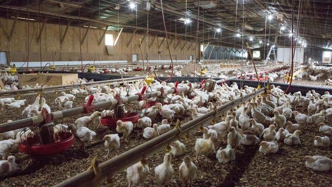 Broiler chickens at L and J Organic Farms near Harrington, Delaware.