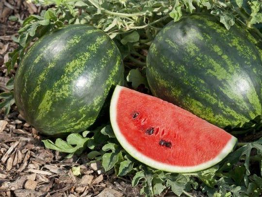 Watermelon Mini Love F1 is a personal-sized Asian watermelon.