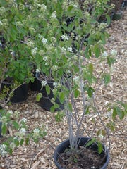 Serviceberries are a native tree and shrub that features white spring blossoms and berries that are good for birds.