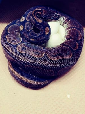 This photo provided by the Saint Louis Zoo shows,a 62-year-old ball python curled up around her eggs July 23, 2020. Experts at the St. Louis Zoo are trying to figure out how a 62-year-old ball python laid seven eggs despite not being near a male python for at least two decades.