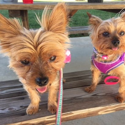 Yorkies Chevy and Sadie were stolen out of Lori Tandy's