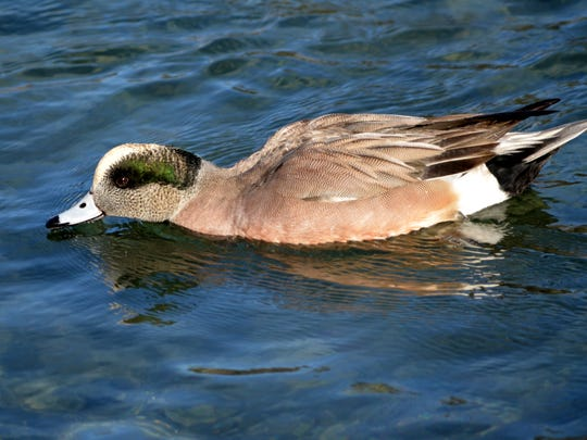 The American widgeon has been known to be found in Pennsylvania.