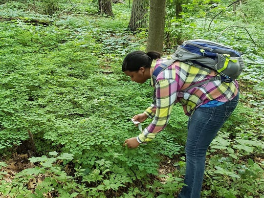 Melody Sain collecting leaf samples to use for genetic