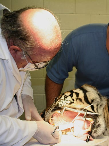 Dr. Tom Clark, a dentist who has a practice in Crestwood, examines a tiger's teeth at the Louisville Zoo.