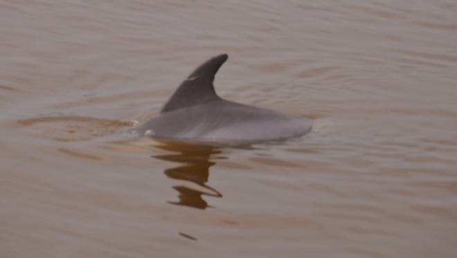 A dolphin swims in the brown water of Sykes Creek. Residents started noticing a fish kill in Sykes Creek on April 10. There were also reports of fish near the surface, struggling for air, in the Banana River.