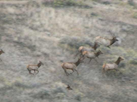 These elk in the Missouri River Breaks are part of a growing population that's prompting a shoulder season hunting proposal.
