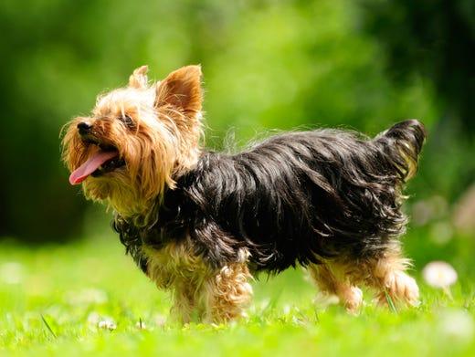 9. Yorkshire terriers • 2016 rank: 9 • 2007 rank: 2