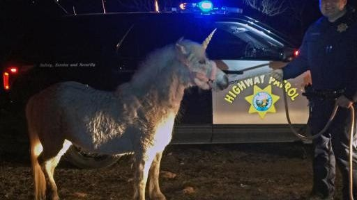 In this Wednesday photo provided by the California Highway Patrol, CHP officer Mark Cosentino with a horse with a fake unicorn horn in rural Madera Ranchos in Madera, Calif., after the horse got away from its handler. Motorists had reported a unicorn running around on the roadway Wednesday. A not-so-mythical white pony named Juliette who wears a fake horn for photo sessions was illuminated by a CHP helicopter in an orchard and resident Renee Pardy used another horse to lead it out. It took more than 3 hours to get the suspect into custody.