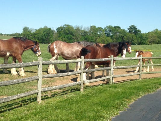 635998588323394168-More-Clydesdales.jpg