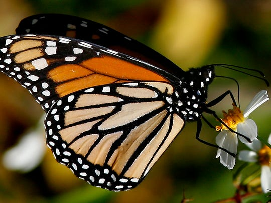 Monarch butterflies can stay aloft for 11 consecutive hours.