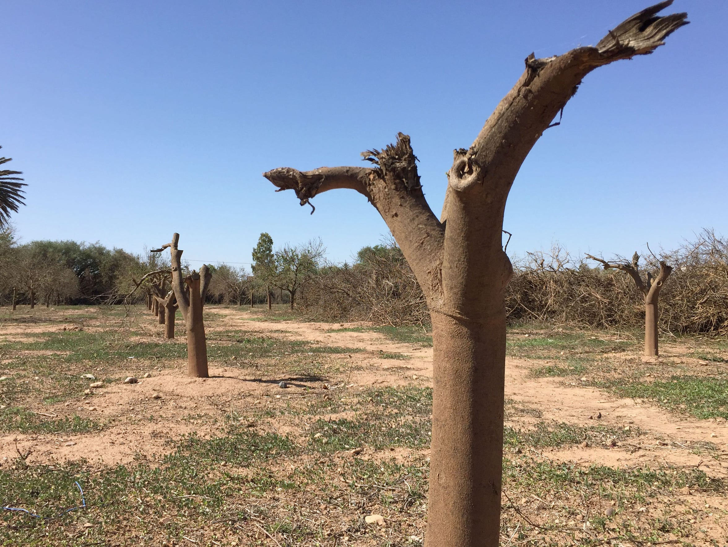 The stumps of dead orange trees stand in a row at the