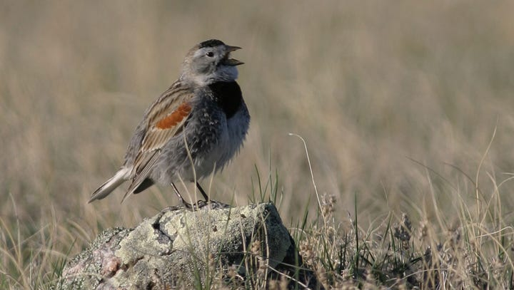 McCown's longspur is a nondescript, ground-nesting