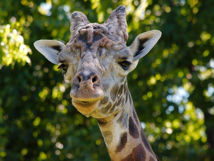 The Nashville Zoo's adult male Masai giraffe shows