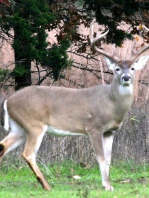 Contributed Photo Texas has one of the most protracted deer seasons in the nation. It's possible to hunt whitetail deer for four months.