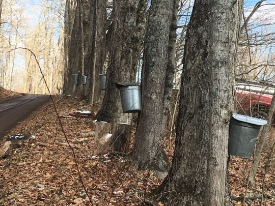 Buckets hang from the maple trees along the drive to the sugar shack at Malabar Farm State Park.