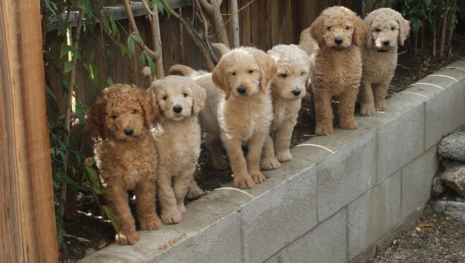 "A litter of then-7-week-old Labradoodles snap to attention when their trainer calls. ""I breed for service dogs: Three of them are in service dog training (in the prison program ), another one is in service with a young boy with ADHD and autism. ... They were an amazing litter. ... They listened to every word I said."""