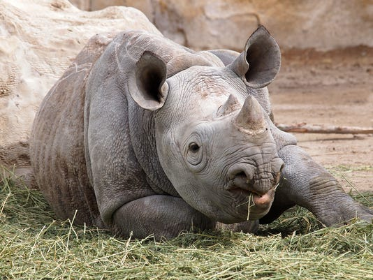 636026259168115942-Discounts-available-for-Potter-Park-Zoo-Days-rhino.jpg
