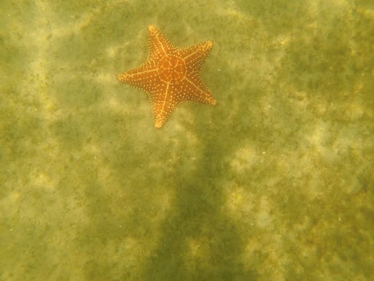 When you snorkel near the Blue Heron Bridge in Riviera Beach, look for giant starfish just north of the bridge in the intracoastal.