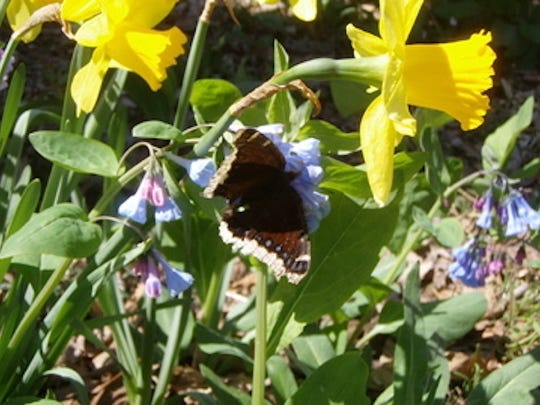 Mourning cloak butterflies overwinter as adults, snug under a flap of bark. Although you may see them anytime in winter after a stretch of warm days, they usually show up about daffodil time.