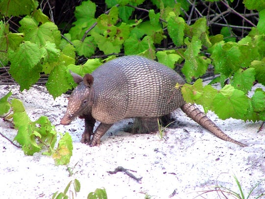 An Armadillo looks for food in the Enchanted Forrest